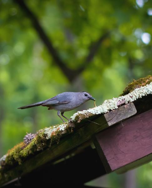 Catbird Grabbing Lunch