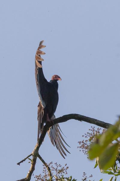 Turkey Vulture - Selva Verde, Costa Rica