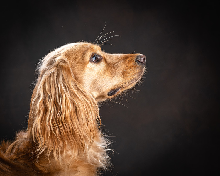 126035-Loki-the-Cocker-Spaniel2019.jpg