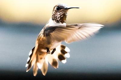 Humming Birds, Flagstaff AZ 2018
