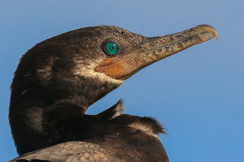zAnahuac 8-14-14, OLD T3i, 040A, Best Cormorant close up (1 of 1).jpg