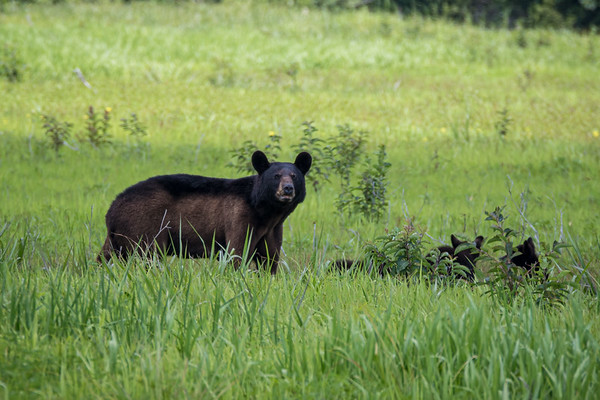 Black Bear Slideshow