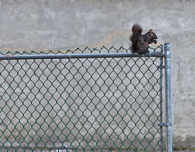Squirrel On Fence.jpg