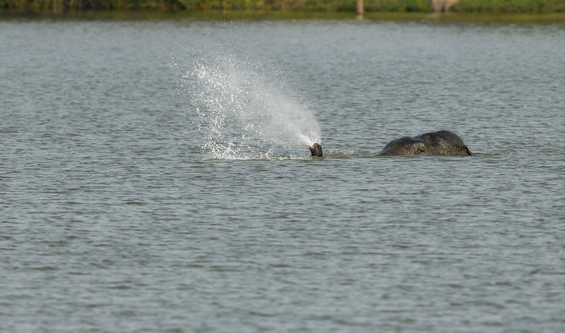 Elephant-swimming-across-lake-kaziranga-9-2.jpg
