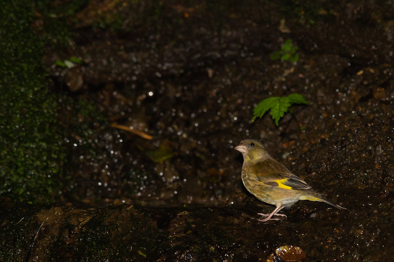 Oriental Greenfinch - Record - Nr. Lake Yamanakao, Yamanishi Prefecture - Japan