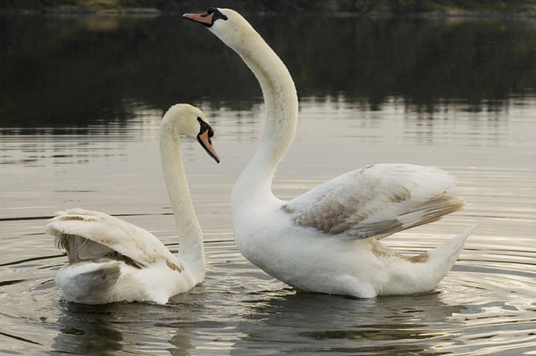Swans (Mute and Trumpeter)