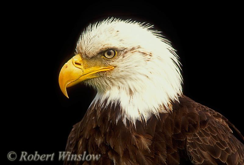 Male Bald Eagle (Haliaeetus leucocephalus), Controlled Conditions