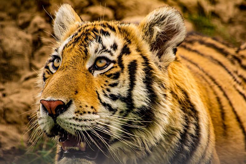 91_TigerLookingUp.jpg