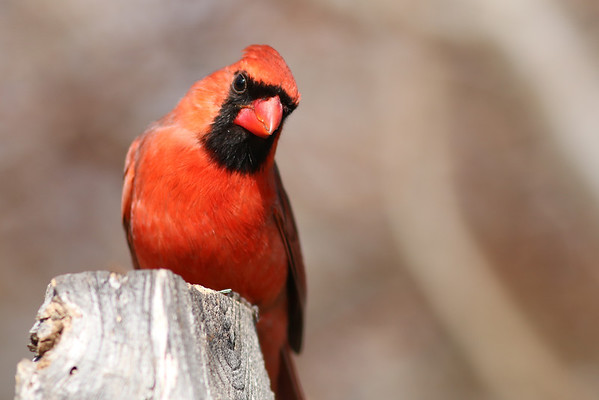 2014 - Cardinal Hisses