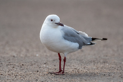 Gull, Grey-headed