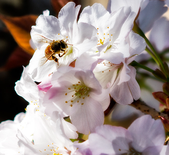 bee-feeding-cherry-blossom.jpg