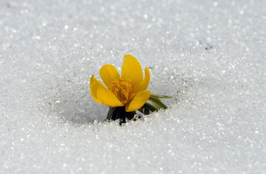 . A buttercup (Eranthis hyemalis) blossoms through the spring snow in the \'Gardens of the World\' in Berlin on March 27, 2013. AFP PHOTO / SOEREN STACHE  GERMANY OUTSOEREN STACHE/AFP/Getty Images