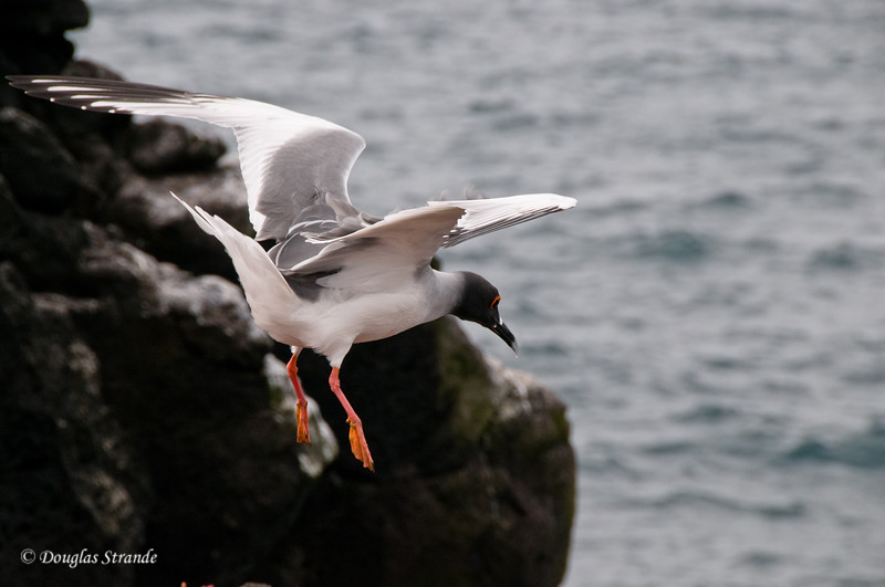 A swallowtail gull takes flight from the cliffs, South Plaza Island