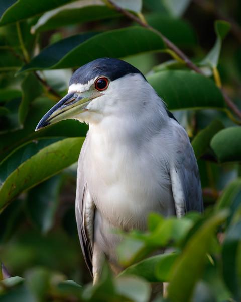 Black-crowned Night-Heron-9854.jpg