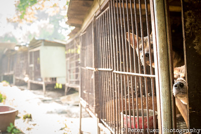 Helping Korean Dogs