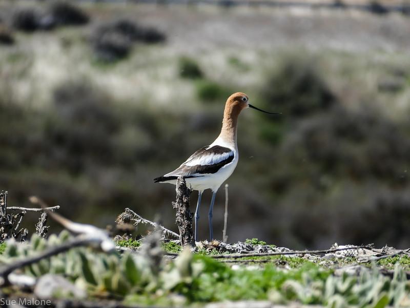 Forsters Tern (7 of 41).jpg