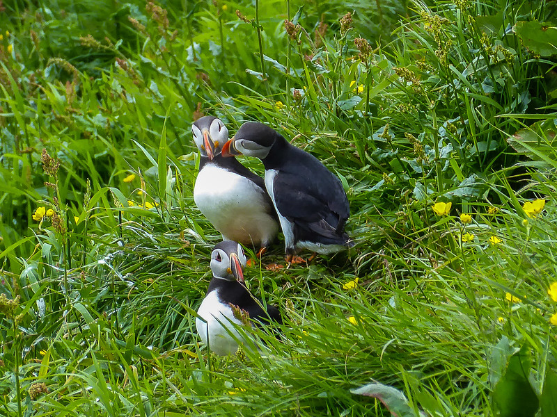 Frailecillos / Puffins (Courtesy of Mario GP Delabat, my son)