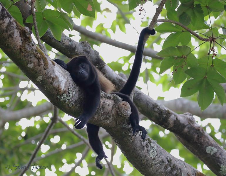 Lazy Monkey.jpg