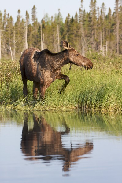 Aquatic plants are much higher in sodium than terrestrial plants, and Moose crave salt. So swamps, bogs and rivers are good placed to find feeding Moose in summer [June; Swamp River, Superior National Forest, Cook County, Minnesota]