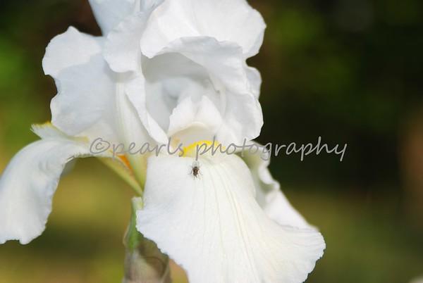 2008-04-29 Peony Iris