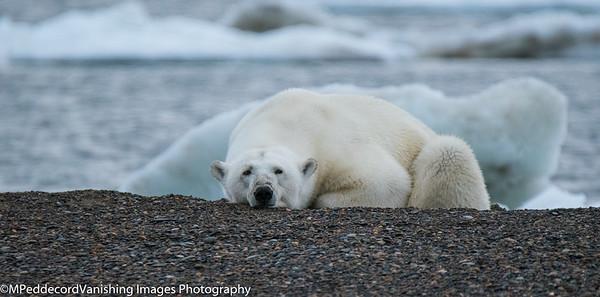 Bears Plus  Alaska North