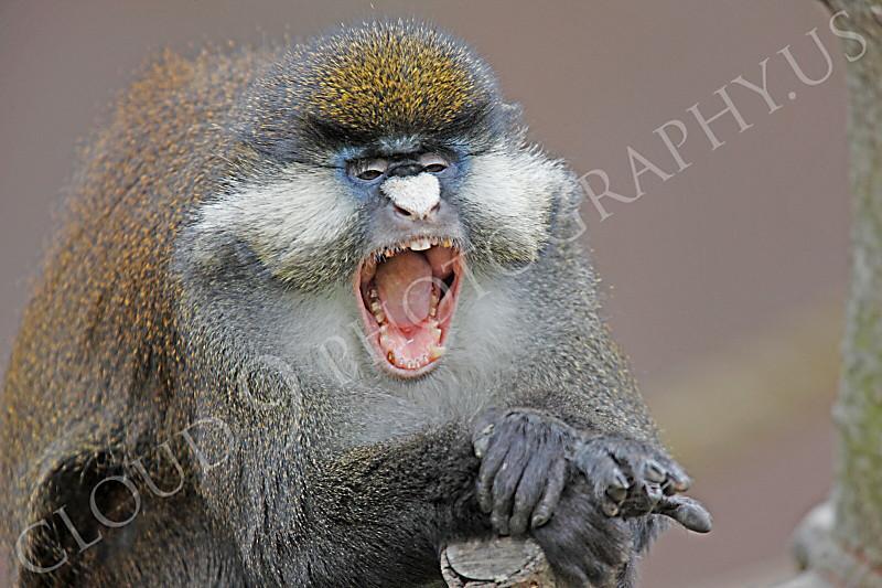 Schmidt's Spot-nosed Guenon 00001 A yawning Schmidt's Spot-nosed Guenon by Peter J Mancus.jpg