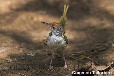 Common Tailorbird, Todoba, India