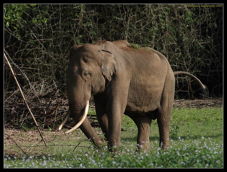 Elephant grazing, Kabini, Mysore, Karnataka, India, June 2009