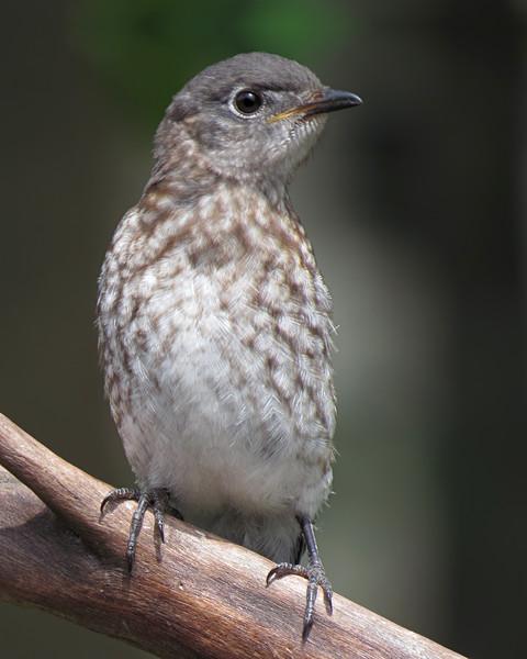 sx50_bluebird_fledgling_boas_317.jpg
