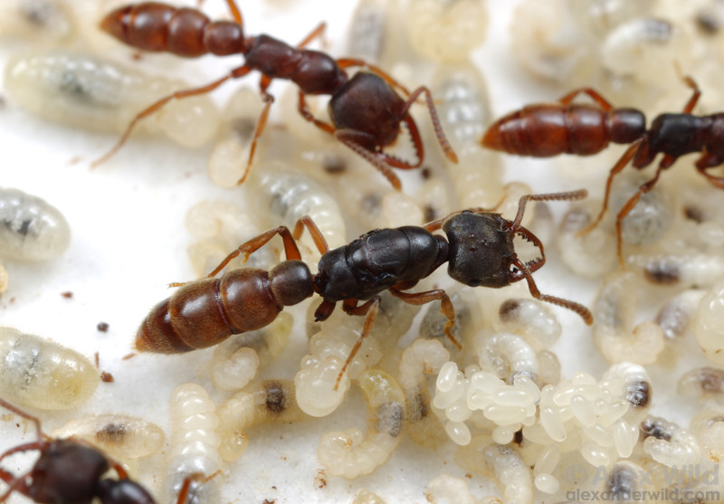 Stigmatomma oregonensis.  Many of the most ancient lineages of ants show little size difference between queens and workers.  Here, a queen sits atop a pile of brood in a laboratory nest; the other individuals are workers.  Quincy, California, USA