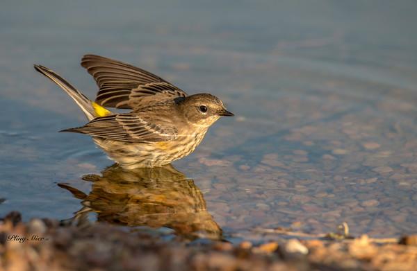 Yellow-rump Warbler LL_DWL1514.jpg