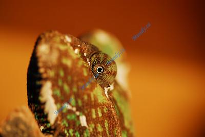 More Chameleons