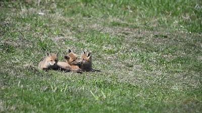 Fox Kits playing movie