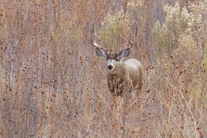 Mule Deer buck [December; Bosque del Apache National Wildlife Refuge, San Antonio, New Mexico]
