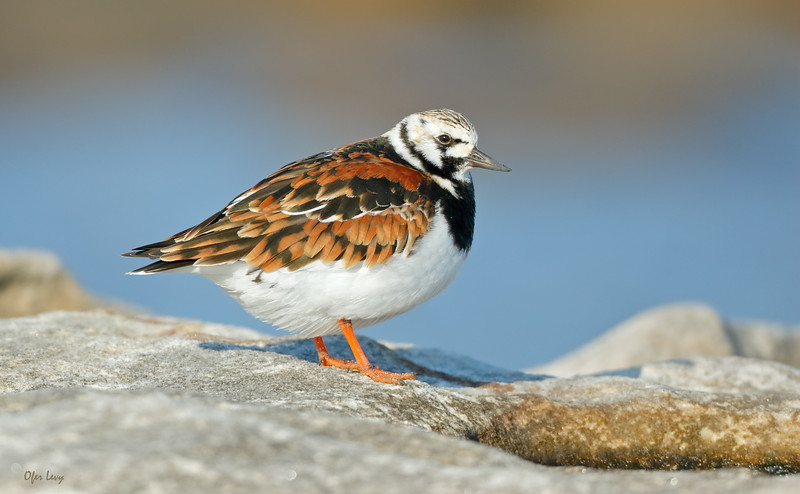 Ruddy Turnstone.jpg