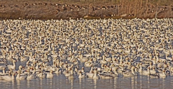 Thousands of Snow Geese near Burbank and Pelicans at Ice Harbor Dam