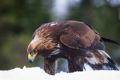 Kongeørn (Golden Eagle)