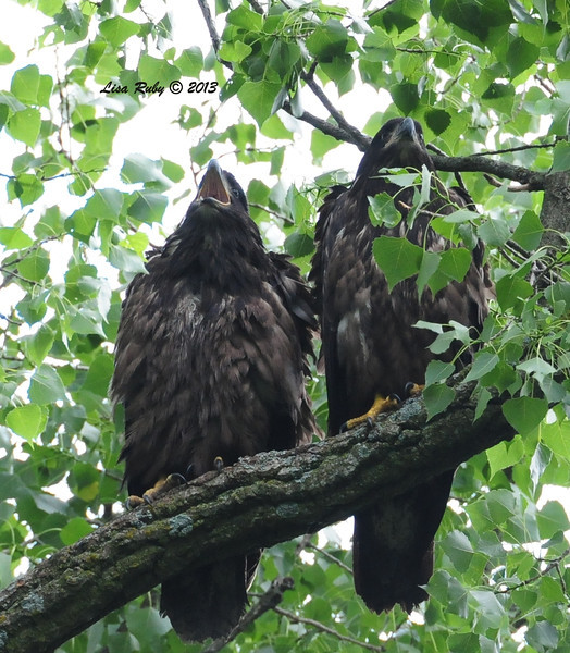 D15 and D16. We saw them hanging out together often. 6/29/13.
