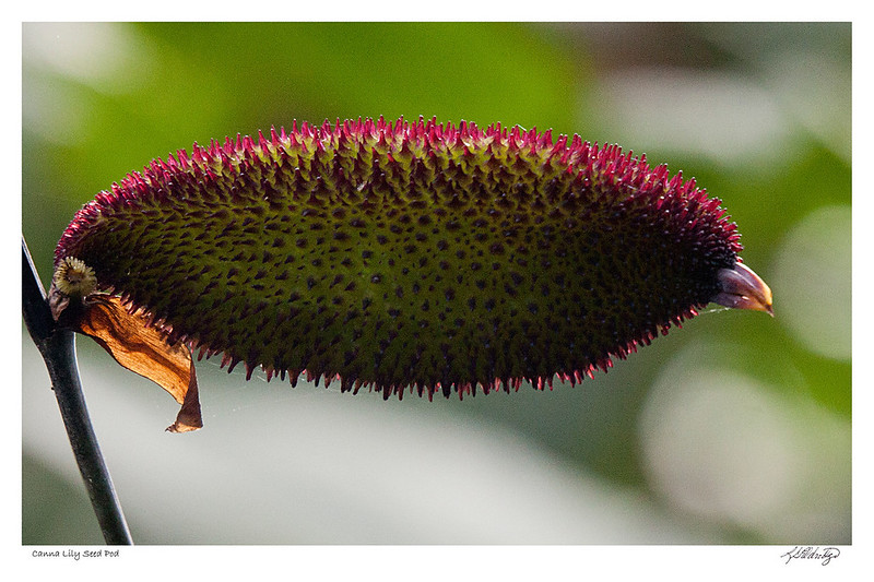 Canna Lily Seed Pod found in Ecuador - Note what looks like a beak on the right