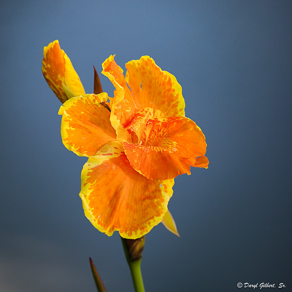 Yellow and Orange Canna Lilly