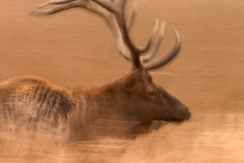 Elk Running 764_6443.jpg