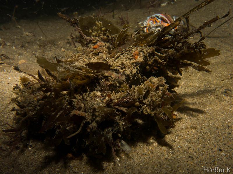 Moss crab (decorator crab)