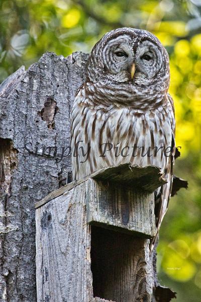 Owl  (14)