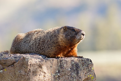 Marmots, Rabbits, Small Mammals