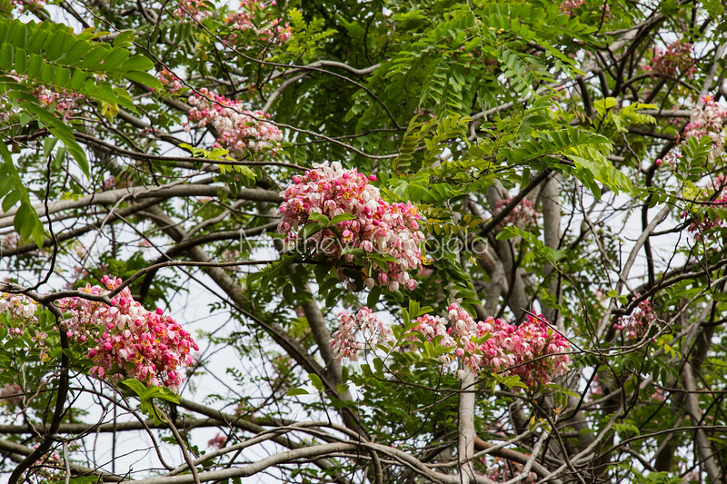 Pink flowering tree on the grounds of president hotel Yamoussoukro Ivory Coast Cote d'Ivoire.