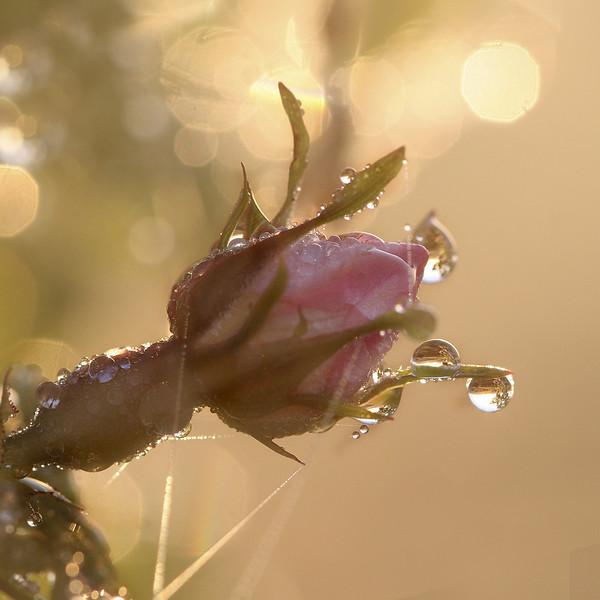 Wild_rose_at_sunrise.jpg