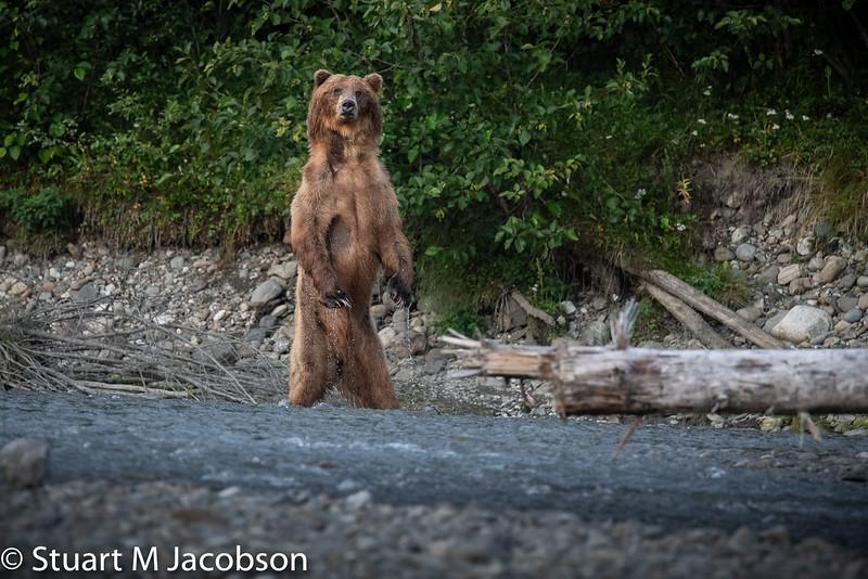 web-bear standing-5629.jpg