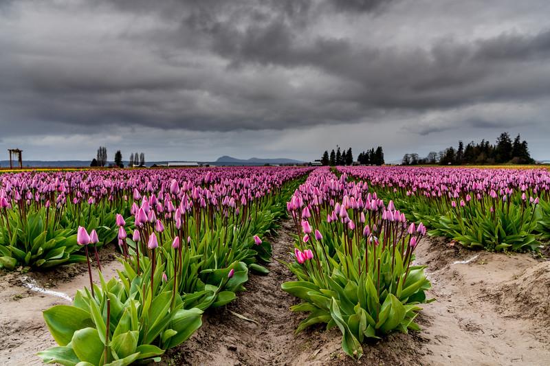 Tulips with cloudy sky.jpg