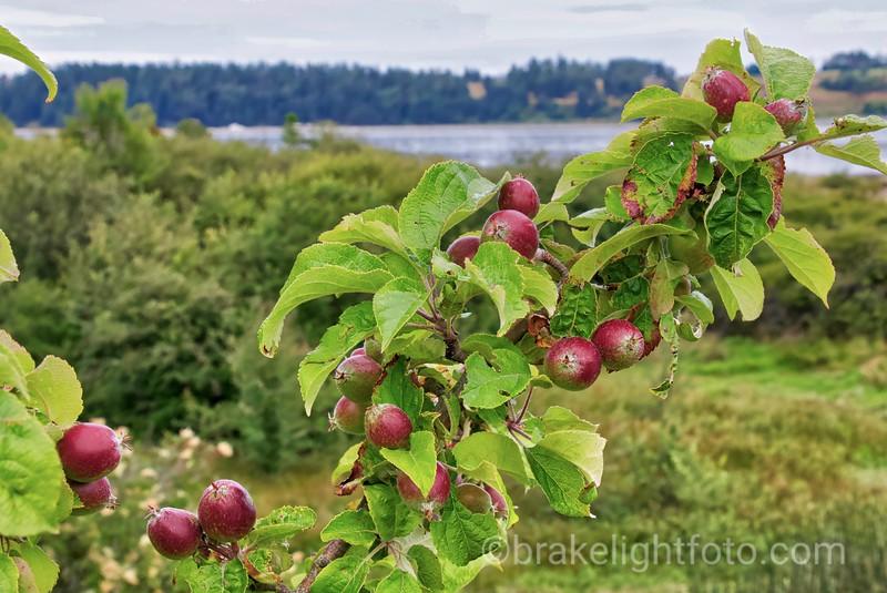 """Apple Tree on """"The Island"""""""