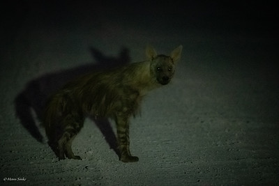 Hyena, Brown (monotypic)
